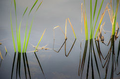 Green reeds in silent water. Green reeds with shadows in silent water royalty free stock photo