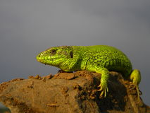 Green reptile Stock Image