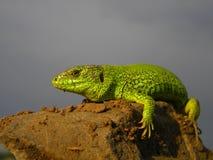 Green reptile Stock Image