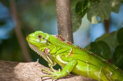 Green Reptile on Brown Tree Royalty Free Stock Photo