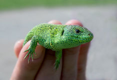 Green reptile Royalty Free Stock Photography