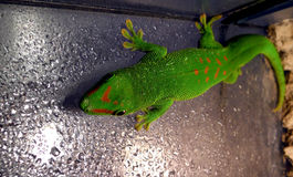 Green reptile Royalty Free Stock Images