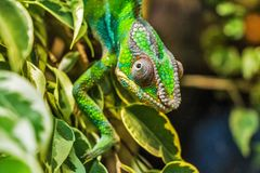 Green Reptile on Green Leaf Royalty Free Stock Photo