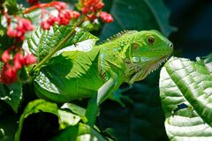 Green Reptile on Red and Green Leaves Stock Photography