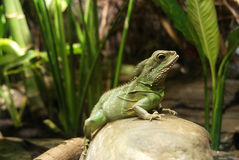 Green reptile on a rock looking at you Royalty Free Stock Photography
