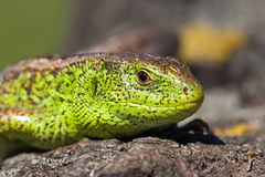 Green Reptile shot close-up.Nimble green lizard .Male sand lizard in mating season on a tree covered with moss and lichen. Stock Image