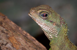 Green rested basilisk Stock Photo