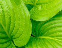 Green ribbed hosta leaves background Royalty Free Stock Images
