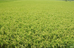 Green rice. Paddy field in india Royalty Free Stock Photos
