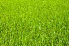 Green rice Royalty Free Stock Image