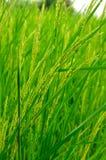Green rice. In paddy farm Stock Photos