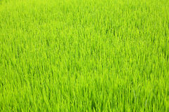 Green rice Royalty Free Stock Images