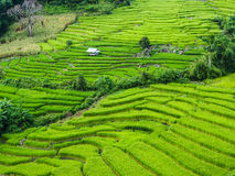 Green Rice. Rice terrace on the moutain Royalty Free Stock Photo
