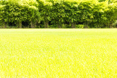 Green rice bamboo scene Stock Photography