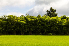 Green rice bamboo scene Stock Image