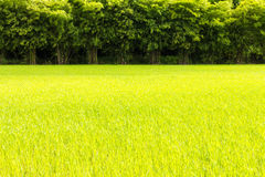 Green rice bamboo scene Royalty Free Stock Image