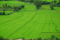 Green rice Bird view 2. Green rice field and blue Bird view Royalty Free Stock Image