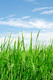 Green rice blue sky Royalty Free Stock Images