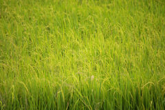 Green rice cultivate land Royalty Free Stock Image