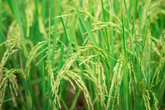 Green rice in Cultivated Agricultural Field Early Stage of Farming Plant. Development Selective Focus with Shallow Depth of Field royalty free stock photos