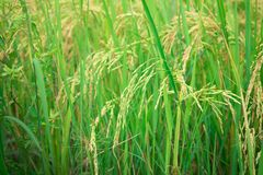 Green rice in Cultivated Agricultural Field Early Stage of Farming Plant. Development Selective Focus with Shallow Depth of Field royalty free stock image