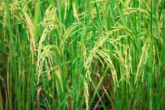 Green rice in Cultivated Agricultural Field Early Stage of Farming Plant. Development Selective Focus with Shallow Depth of Field stock photography