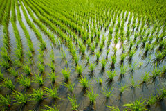 Green rice cultivation field Stock Images