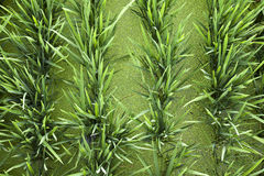 Green Rice and Duckweed Background Royalty Free Stock Photos