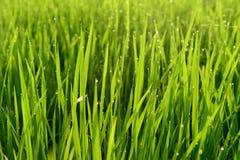 Green rice Royalty Free Stock Image