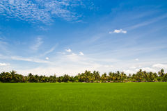 Green rice farm Stock Image