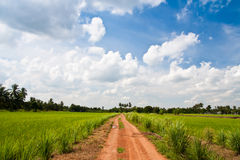 Green rice farm. And blue sky Stock Image