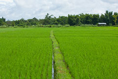 The green rice farm Stock Images