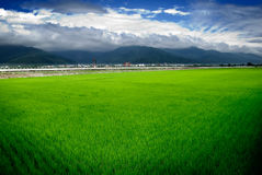 Green rice farm and blue sky Royalty Free Stock Images