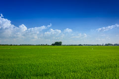 Green rice farm Stock Photography