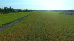 Green rice farm field with sun at twilight time and pathway in Thailand; High quality footage 4K, aerial view. Green rice farm field with sun at twilight time stock video footage