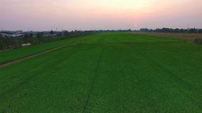 Green rice farm field with sun at twilight time and pathway in Thailand; 4K 30fps, aerial tilt up top view stock video