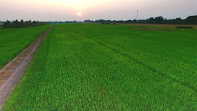 Green rice farm field with sun at twilight time in Thailand; 4K 30fps, aerial tilt up top view stock footage