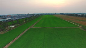 Green rice farm field with sun at twilight time in Thailand; 4K 30fps, aerial tilt up top view stock video