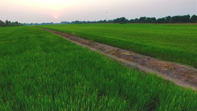 Green rice farm field with sun at twilight time in Thailand; 4K 30fps, aerial tilt up top view. Green rice farm field with sun at twilight time in Thailand; 4K stock footage