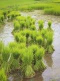 Green rice farm Royalty Free Stock Photography