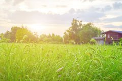 Green rice farm. Near by Thai local house Stock Photography