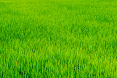 green rice farm Royalty Free Stock Image