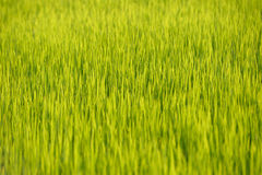 Green rice Royalty Free Stock Photography