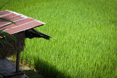 Green rice farm. Small cottage in greenery rice farm royalty free stock image