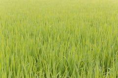 Green rice farm thai Stock Images