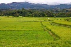 Green rice farm in Thailand Royalty Free Stock Photos