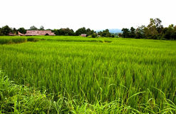Green rice farm. The green rice farm in Thailand stock photos