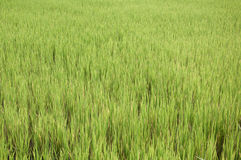 Green rice farming background. Royalty Free Stock Image