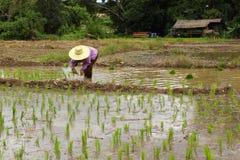 Green rice farmland Royalty Free Stock Images