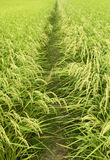 Green rice field. Summer image Royalty Free Stock Images